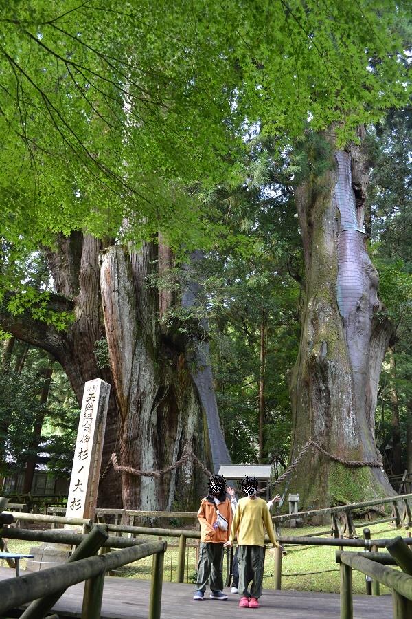 大杉は本当に巨木でした